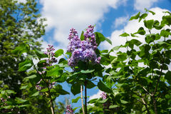 Schöne Flieder mit purpurroter Nahaufnahme der Blumen im Frühjahr draußen Lizenzfreie Stockbilder