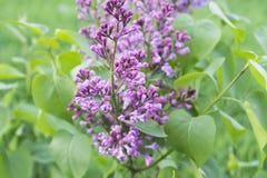 Schöne Flieder Purpurrote Blume stockbild