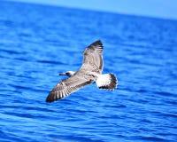 Schöne fliegende Seemöwe, Vogel mit seinen Flügeln offen stockbild