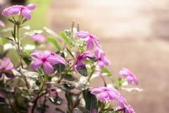 Schöne flowerbeautiful frische rosa Blumen morgens Stockfoto