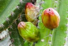 schöne Früchte von traditionsgemäß brasilianischen Kakteen, mandacaru, Co stockbild