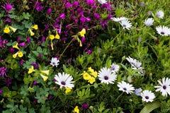 Schöne Frühjahrsommerblüte von kleinen gelben Blumen, von afrikanischen Gänseblümchen und von Klee, eine recht Blumenhintergrundb stockbild