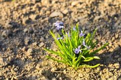 Schöne Frühlingsblume scilla siberika Sibirier-Meerzwiebel lizenzfreies stockbild