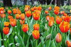 Schöne Frühlingsblumen. Stockfotos