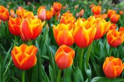 Schöne Frühlingsblumen. Stockfotografie