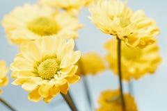 Schöne Frühlingschrysanthemeblumen Stockbilder