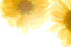 Schöne Frühlingschrysanthemeblumen Lizenzfreie Stockfotos