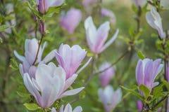 Schöne Frühlingslandschaft: blühender rosa Magnolienbaumabschluß oben lizenzfreies stockbild