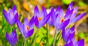 Schöne Frühlingsperlen, Krokusse Blüte, sobald der Schnee schmilzt lizenzfreies stockbild