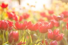 Schöne Frühlingstulpen stockfotografie