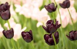 Schöne Frühlingstulpen, die im Garten blühen lizenzfreies stockfoto