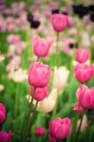 Schöne Frühlingstulpen, die im Garten blühen stockfotos