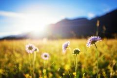 Schöne Frühlingswiese Sonniger klarer Himmel mit Sonnenlicht in den Bergen Buntes Feld voll von Blumen Grainau, Deutschland Stockfoto