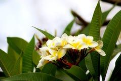 schöne Frangipaniblumen oder Plumeriablumen Lizenzfreie Stockbilder