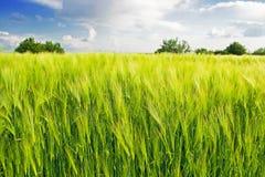Schöne Frau auf einem Weizengebiet Stockfoto
