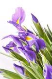 Schöne frische Blendenblumen Stockfotografie