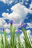 Schöne frische Blendenblumen Stockbilder