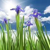 Schöne frische Blendenblumen Lizenzfreie Stockfotos