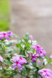 Schöne frische rosa Blumen morgens Lizenzfreies Stockbild