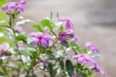 Schöne frische rosa Blumen morgens Lizenzfreie Stockfotos