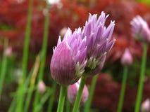 Schöne frische Schnittlauchblumen Stockbilder