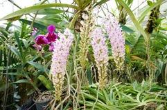 Schöne Fuchsschwanzorchideen im Bauernhof stockbilder