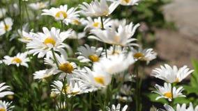 Schöne Gänseblümchen blühen im Sommer auf Feld Phytotherapy umweltfreundliche medizinische Kräuter Blumengeschäft stock footage