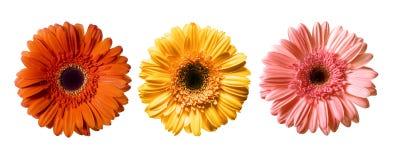 Schöne Gänseblümchen-Blumen Lizenzfreies Stockbild