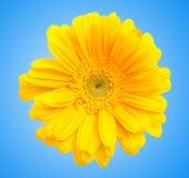 Schöne Gänseblümchenblume stockbild