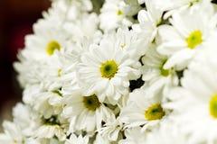 Schöne Gänseblümchenblumen Stockfotografie
