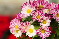 Schöne Gänseblümchenblumen Lizenzfreie Stockbilder