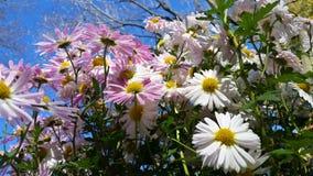 Schöne Gänseblümchenblumen in der Gruppe Lizenzfreie Stockfotografie