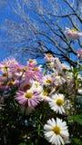 Schöne Gänseblümchenblumen in der Gruppe Stockbild