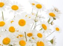 Schöne Gänseblümchenkamillenblumen Lizenzfreie Stockfotografie