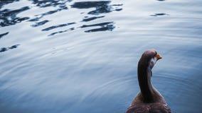 Schöne Gansschwimmen Stockfotos