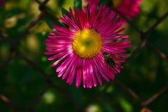 Schöne Gartenblume lizenzfreies stockfoto