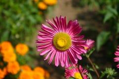Schöne Gartenblume lizenzfreie stockbilder