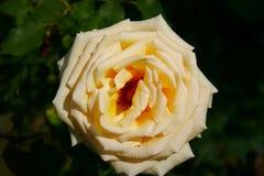 Schöne Gartenblume stockfoto
