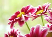 Schöne Gartenblumen Stockbild