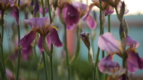 Schöne Gartenblumen im Abendlicht stock video footage