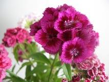 Schöne Gartennelke blüht in einem Vase auf einer Tabelle Blumenstrauß der violetten, purpurroten und rosa Mehrfarbenblume Dekorat lizenzfreies stockbild