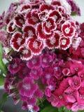 Schöne Gartennelke blüht in einem Vase auf einer Tabelle Blumenstrauß der violetten, purpurroten und rosa Mehrfarbenblume Dekorat stockfotografie