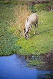Schöne Gazelle mit großen Hörnern Lizenzfreies Stockfoto