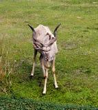 Schöne Gazelle mit großen Hörnern Lizenzfreie Stockfotos