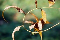 Schöne gebogene getrocknete Blätter Stockbilder