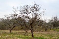 Schöne gebogene slawische Bäume mit Niederlassungen ohne Blätter auf dem Feld im Frühjahr lizenzfreies stockbild