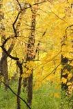 Schöne Gelbblätter im Holz eines Herbstes Stockfotos