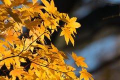 Schöne gelbe Ahornblätter auf den Baumasten Lizenzfreies Stockfoto