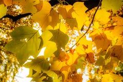 Schöne gelbe Ahornniederlassung im Herbst saisonal Stockbild