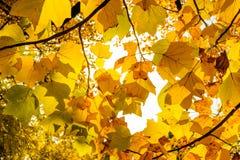 Schöne gelbe Ahornniederlassung im Herbst saisonal in J Lizenzfreie Stockfotografie